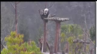Жизнь панды в зоопарке ч2