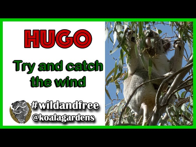 Hugo - try and catch the wind
