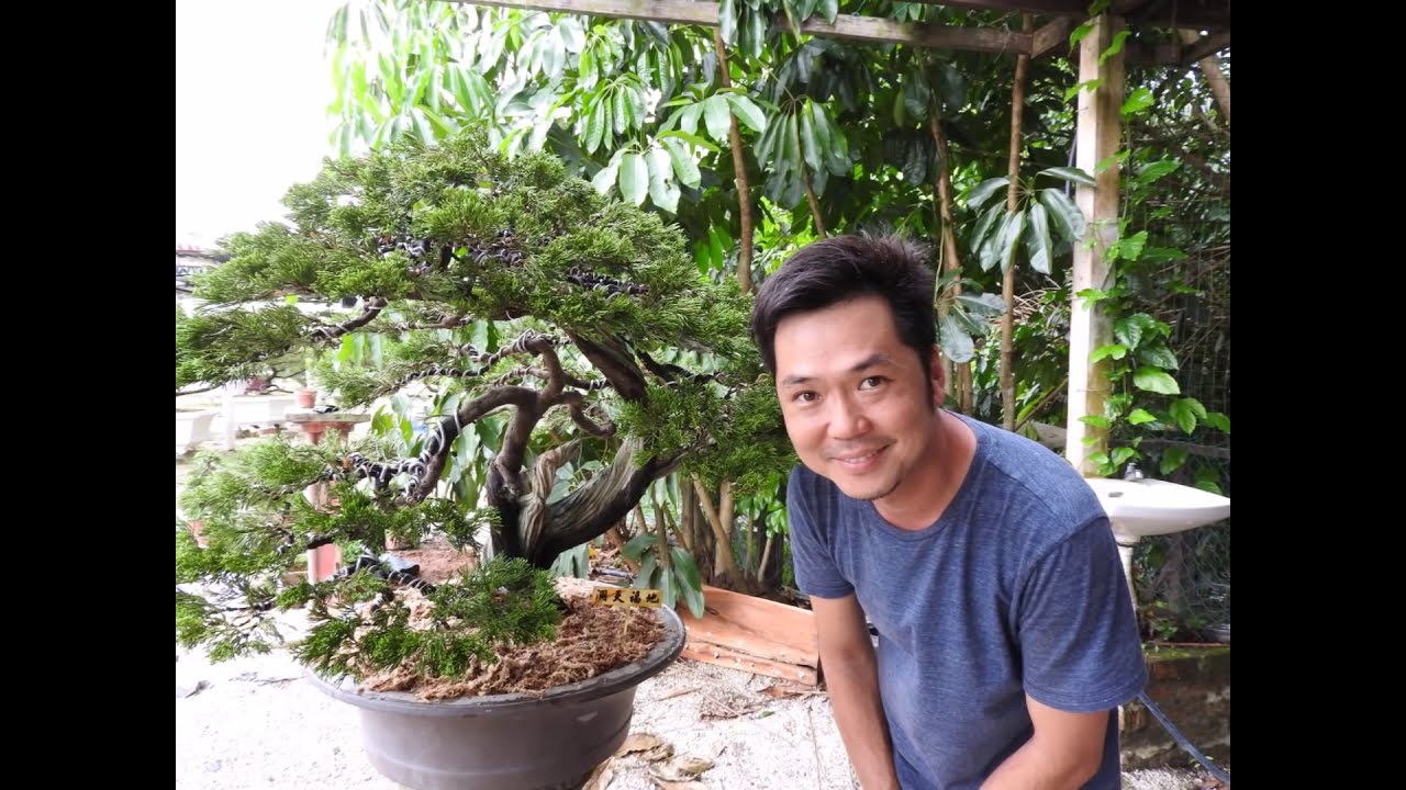 Ua Bonsai Art Re Potting And Wiring Demo Malaysiabonsai Youtube