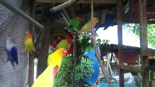 African Love Birds [GJA Aviary]