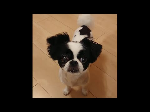 JAPANESE CHIN PUPPY MOMENTS 2020