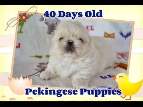 Pekingese Puppies 40 days olds old - White, cream & particolor puppies