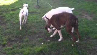 Astro, Texas American Bulldog Rescue