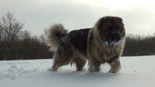 winter walk with caucasian ovcharka