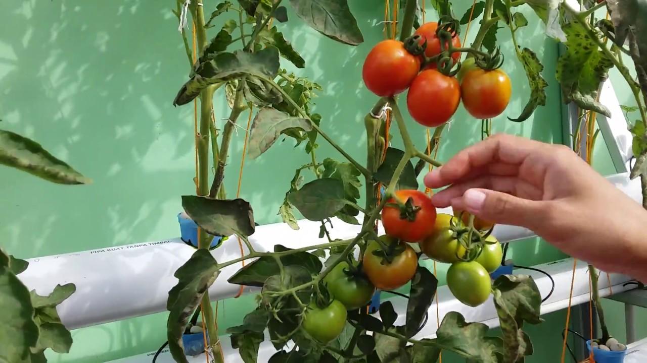 Bertanam Tomat Hidroponik Dirumah Youtube