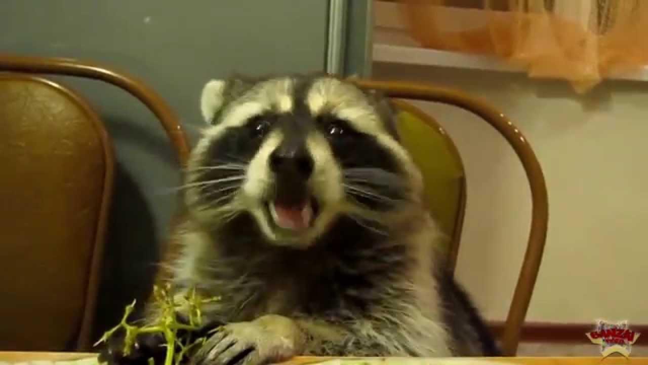 Raccoon Eating