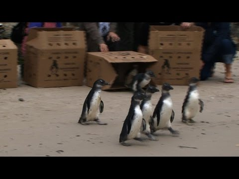 African penguins released into the wild in South Africa