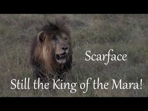 SafariLive Sept 08- Male lion Scarface is still the King of the Mara!