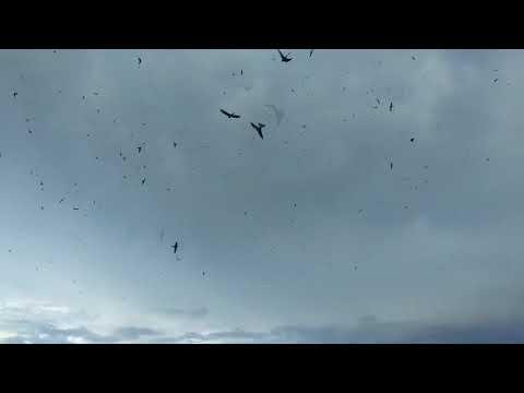Ribuan Walet Datang Dengan Suara Panggil Berkualitas