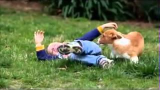 Potty Trained Corgi Male Puppy