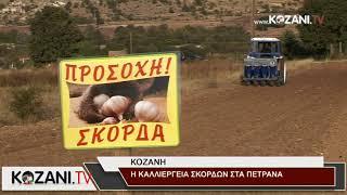 Η καλλιέργεια σκόρδων στα Πετρανά Κοζάνης