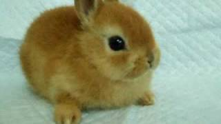 ネザーランドドワーフ子ウサギ癒し系 thumbnail