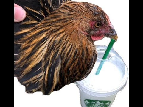 Chicken trying the cupcake frappe!!!