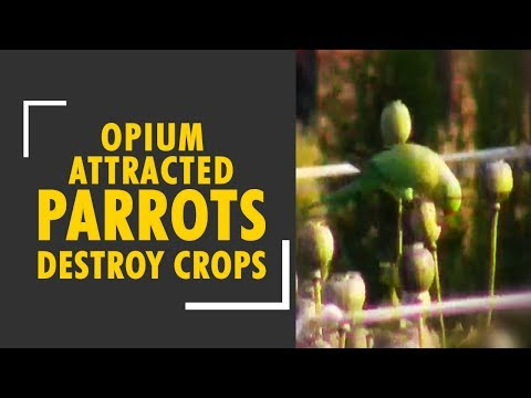 Intoxicated parrots destroy opium crops in Rajasthan