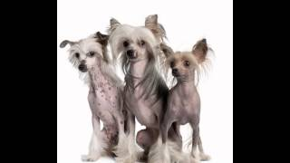 Китайская Хохлатая/Chinese Crested (порода собак HD slide show)!