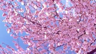 SAKURA / IKIMONOGAKARI - Piano (SAKURA/いきものがかり)
