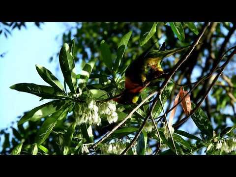 Видео: A Quondong feast for Lorikeets