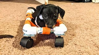 Little Dachshund Born without front legs but that doesn't hold him back to taking the World