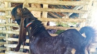 Download World's Best Kamori Goat Farm|Rare Kamori Breed|Goat