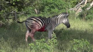 Bloody Zebra survives being hunted thumbnail