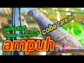 Suara Perkutut Lokal Asli Alam Nyecret(.mp3 .mp4) Mp3 - Mp4 Download