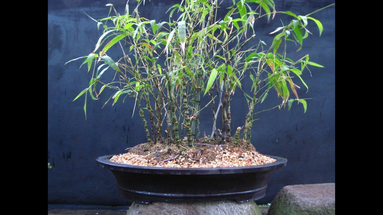 Bamboo As Bonsai Youtube