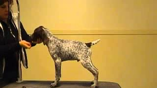 German Shorthaired Pointer - Calvin Stacks @ 13 Weeks
