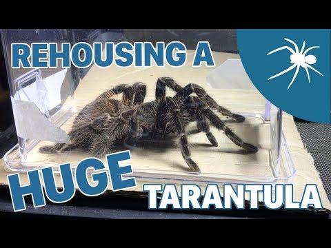 Tarantula REHOUSING video #2 - ADULT SALMON PINK BIRDEATER!!!