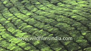 Patterned rows of tea bushes in Kerala's Munnar hills