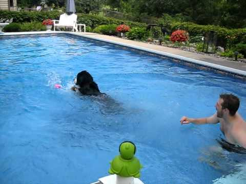 Bernese Mountain Dog Swimming - First leap in!