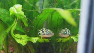 Erbsenkugelfisch Carinotetraodon travancoricus Kaufen Haltung Füttern Geschlechtsunterschiede Zucht