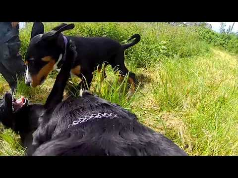 My Rottweiler playing with his dog friends in Denmark (GoPro)