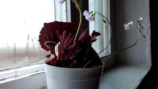 Цветок оксалис, кислица, фиолетовый комнатный цветок