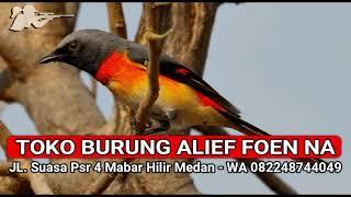 Download Mp3 Suara Pikat Mp3 Burung Mantenan Mantab - Suara Burung Api Api