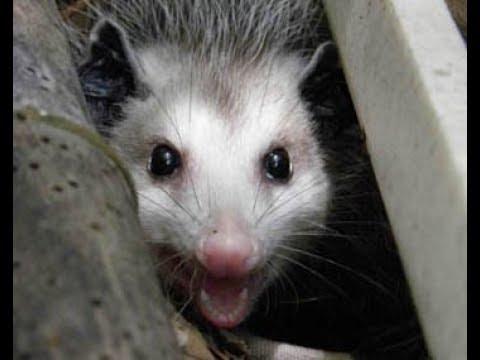 Opossum making a nightly visit