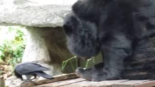 Малайский медведь в Зоопарке Дусит - Бангкок, Таиланд