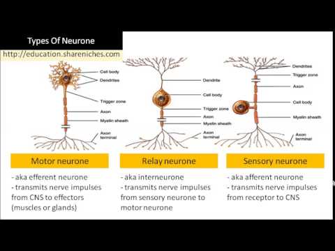 Diagram Types Of Neurone Sensory Neurone Relay