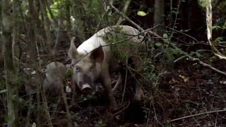 The Guardians Are On A Wild Pig Chase In Louisiana