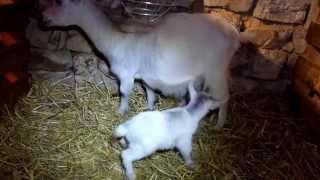 Chèvres miniatures des Tourelles - INFINITY rejette violemment sa chevrette