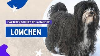 Caractéristiques De La Race De Lowchen