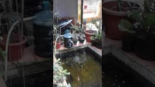 Filter kolam ikan koi menggunakan galon bekas