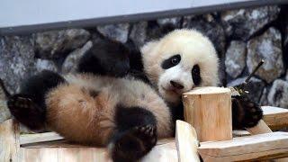 【連続すべり台♪】結浜🐼すべっては飼育員さんにかけ寄る!【赤ちゃんパンダ】Giant Panda Baby -Yuihin-☆Yuihin run up to the caretaker thumbnail