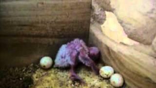 incroyable bébé perruche fait caca et regarde sa crotte pour ne pas mettre sa queue dedans humour