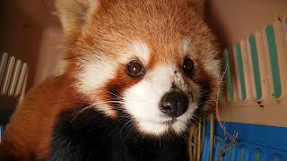 World's largest seizure of live red pandas conducted in Laos