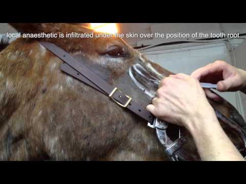 Removal of a molar tooth root fragment in a horse - tooth root abscess part 2