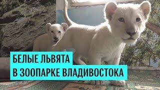 Белые львята в зоопарке Владивостока
