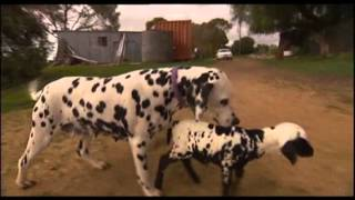 Orphaned Spotted Lamb Adopted By Dalmatian Dog