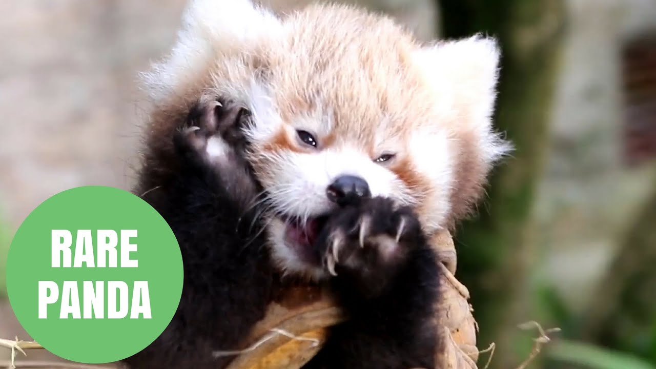 Adorable Video Shows Rare Baby Red Panda Youtube
