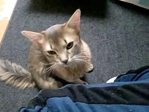Somali cat meow猫ソマリの鳴き声
