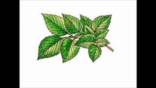 Ботаника. Лист